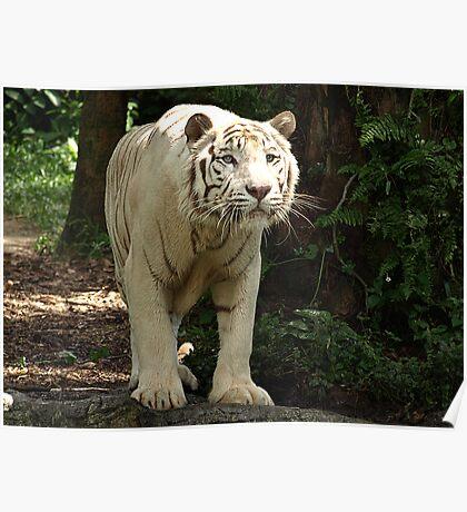 """White Tiger """"Omar"""" Poster"""