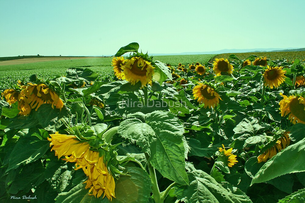 The Sunflowers Field by Nira Dabush