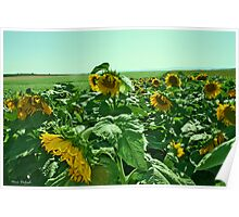 The Sunflowers Field Poster