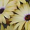 Pale Yellow African Daisies by plunder