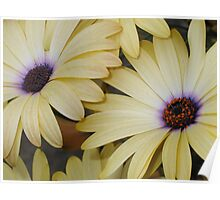 Pale Yellow African Daisies Poster