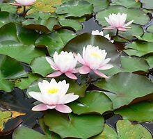 Water lilies by Riaan Hefer