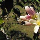 Sweet Flower of the Lemon by 4spotmore