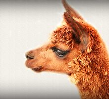 An Alpaca Portrait by Evita