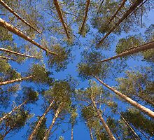 shot looking up at a canopy of pine trees by vkph