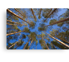 shot looking up at a canopy of pine trees Canvas Print