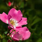 Pretty In Pink by Cynthia Broomfield