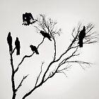Black Cockatoos by Mark Boyle