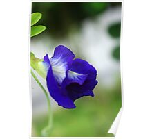 Blue Pea Poster