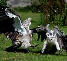 Vulture Fight by Sheila Smith