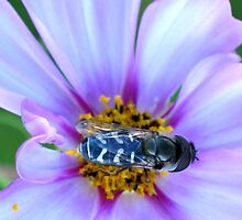 Hoverfly-2 by plunder