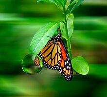 Monarch Reflections by Wendy Mogul