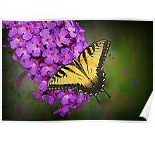 Beautiful Swallowtail on Butterfly Bush Poster