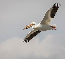 Soaring Pelican by Thomas Young