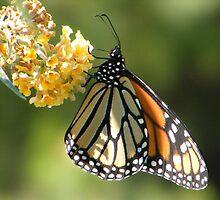 Monarch by Dave & Trena Puckett