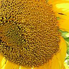 Bug On Sunflower by Stephen Thomas