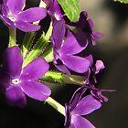"""""""Wee"""" Purple Verbena by DottieDees"""