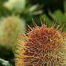 Banksia Sunrise - Noosa National Park by Alex Evans