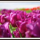 Purple Tulips by MotherHubbard3