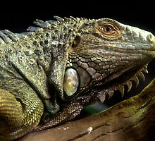 Green Iguana by Tom Newman