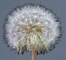 Dandelion Clock in Blue by John Bromley