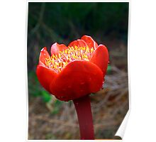 Blood Lily #5 (Haemanthus coccineus) Poster