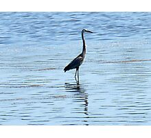 Heron Hunt Photographic Print