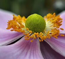 Japanese Anemone by drabblegate