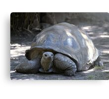 Tortoise on the move Metal Print