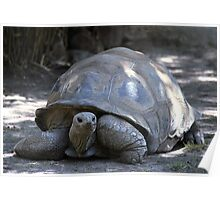 Tortoise on the move Poster