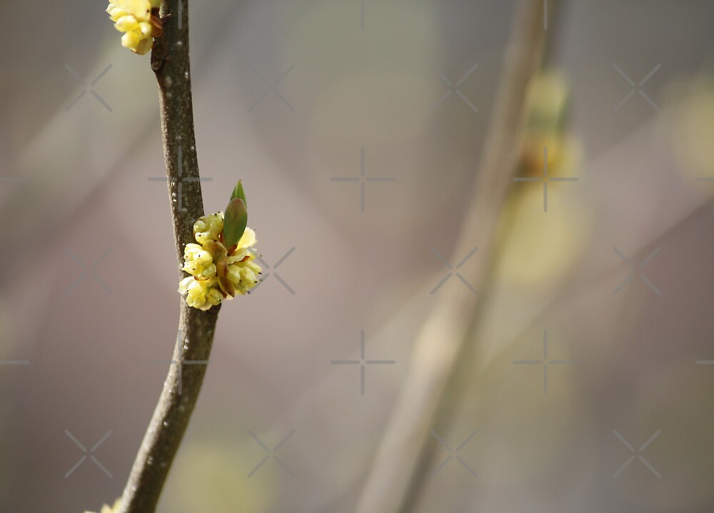Spice Bush Blossom by Linda Costello Hinchey