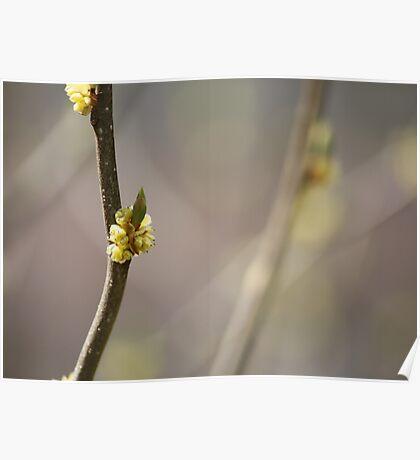 Spice Bush Blossom Poster