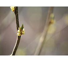 Spice Bush Blossom Photographic Print