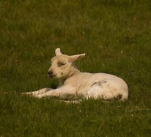 little lamb by Jon Lees