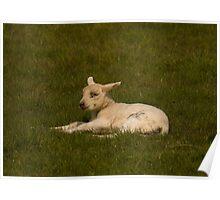 little lamb Poster
