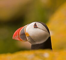 Puffin by Jon Lees