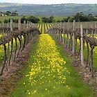 SA Vineyards by Kathy Silcock