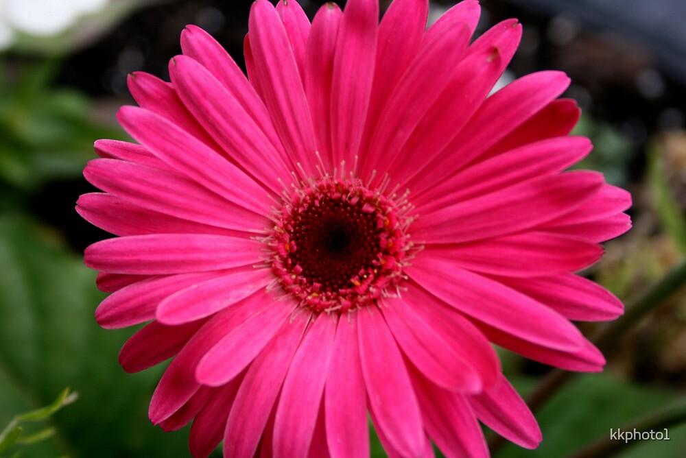 Daisy Pink by kkphoto1