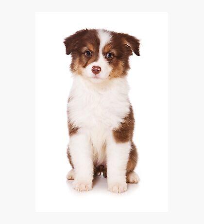 Puppy Australian Shepherd Photographic Print