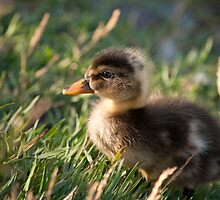 Fuzzy Duck by Stephen Rowsell