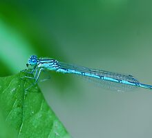 Blue dragonfly on a leaf by mariette sardin