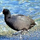 Not Quite An All Black! - NZ Coot by AndreaEL