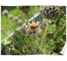 Beetle climbing on a dried chives flower Poster