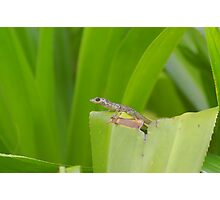 small lizard on leaf Photographic Print
