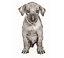 Hairless Dog puppy Photographic Print