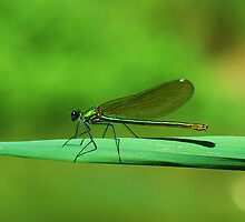 dragonfly near the river by mariette sardin