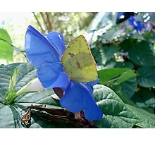 Sulphur Butterfly in Morning Glory Photographic Print