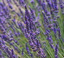 Lavender by glanum