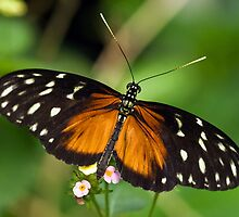 Ismenius Longwing (Heliconius isemenius) by Steve  Liptrot