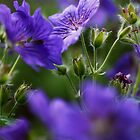 purple geranium by codaimages